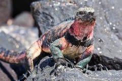 Marine iguana on Espanola Island, Galapagos National park, Ecuador. Marine iguana Amblyrhynchus cristatus on Espanola Island, Galapagos National park, Ecuador stock images
