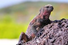Marine iguana on Espanola Island, Galapagos National park, Ecuador royalty free stock image