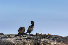 Marine Iguana, flightless kormoran- & Sally-lightfoot krabba arkivfoto