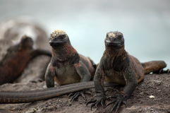 Marine Iguana,Galapagos. Marine Iguana-friendly,ugly and fearless creatures of Galapagos Islands Royalty Free Stock Photos