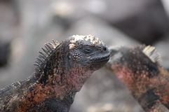 Marine Iguana,Galapagos. Royalty Free Stock Photo