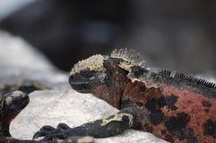 Marine Iguana,Galapagos. Galapagos Marine Iguana seems like small dinosaur Royalty Free Stock Image