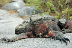 Marine Iguana. Galapagos. The Marine Iguana resting on the warm stone. Photo was taken on Hood Island, Galapagos Royalty Free Stock Image