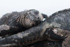 Marine Iguana Galapagos leaning on another iguana. Smiling Marine Iguana Galapagos leaning on another iguana with grey bakcground royalty free stock photos