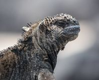 Head shot of a Marine Iguana Galapagos with close mouth. Head shot of a Marine Iguana Galapagos with blurred background and closed mouth royalty free stock image