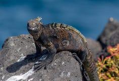 Marine Iguana Galapagos #2 Imagens de Stock Royalty Free
