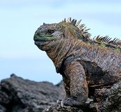 Marine iguana or the Galapagos marine iguana Amblyrhynchus cristatus is an iguana that lives only on the Galapagos Islands. Spends most of his time at sea. On stock photos