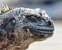 Marine iguana or the Galapagos marine iguana Amblyrhynchus cristatus is an iguana that lives only on the Galapagos Islands. Spends most of his time at sea. On royalty free stock photo