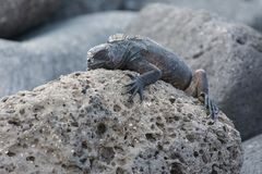 Marine iguana in Galapagos stock photography
