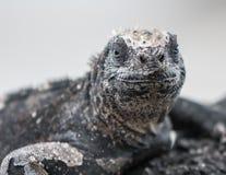 Marine Iguana Galapagos che si siede su una roccia con un sorriso fotografia stock