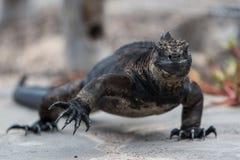 Marine Iguana Galapagos die op een straat lopen royalty-vrije stock afbeeldingen