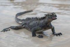 Marine Iguana Galapagos die op een strand lopen stock fotografie