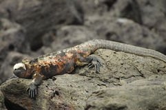 Marine Iguana - Galapagos - Ecuador Royaltyfria Bilder