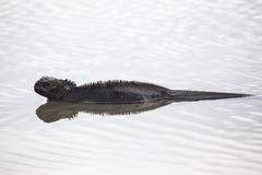 Marine Iguana, Galapagos Stock Photography