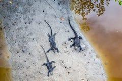 Marine Iguana Galapagos ,Isabella Island Stock Photos