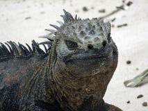 Marine iguana on Galapagos island royalty free stock photo