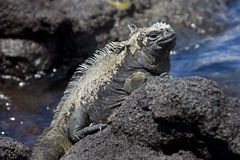 Marine Iguana - Galapagos Islands. Marine Iguana (Amblyrynchus cristatus) warming up in the sun - Fernandina Island in the Galapagos Islands. These cold blooded Royalty Free Stock Images