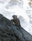Marine Iguana - Galapagos Islands. A Marine Iguana clinging to the lava cliffs on the coast of Fernandina in the Galapagos Islands Royalty Free Stock Photos