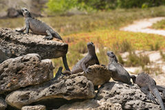 Marine iguana Royalty Free Stock Photos