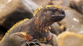 A marine iguana on the Galapagos Islands. Black & Yellow color royalty free stock image