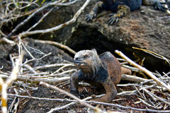 Marine iguana, Galapagos Islands, Ecuador Stock Photo