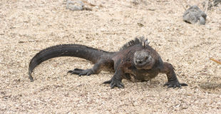 Marine iguana, Galapagos Islands, Ecuador. See my other works in portfolio royalty free stock photos