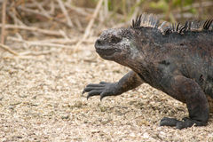Marine iguana, Galapagos Islands, Ecuador Royalty Free Stock Photos