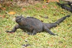 Marine iguana, Galapagos Islands, Ecuador Stock Image