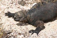 Marine iguana on Galapagos islands Stock Photography