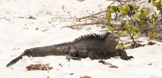Marine iguana on Galapagos islands Royalty Free Stock Photo