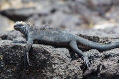 Marine iguana in Galapagos islands Stock Photos