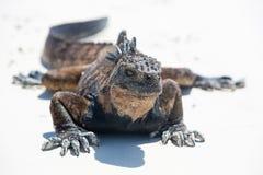 Marine iguana in the Galapagos islands Stock Image