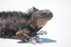 Marine iguana in the Galapagos islands Royalty Free Stock Photography