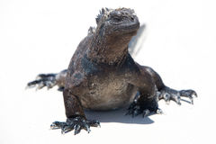 Marine iguana in the Galapagos islands Stock Images