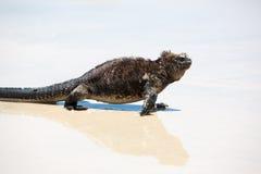 Marine iguana in the Galapagos islands Stock Photo