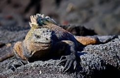 Marine iguana or the Galapagos marine iguana is an iguana that lives only on the Galapagos Islands. Marine iguana or the Galapagos marine iguana Amblyrhynchus stock photography