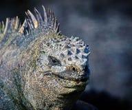 Marine iguana or the Galapagos marine iguana is an iguana that lives only on the Galapagos Islands. Marine iguana or the Galapagos marine iguana Amblyrhynchus stock image