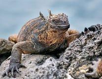 Marine iguana or the Galapagos marine iguana is an iguana that lives only on the Galapagos Islands. Marine iguana or the Galapagos marine iguana Amblyrhynchus royalty free stock images