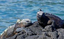 Marine iguana or the Galapagos marine iguana is an iguana that lives only on the Galapagos Islands. Marine iguana or the Galapagos marine iguana Amblyrhynchus stock photos