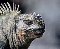 Marine iguana or the Galapagos marine iguana Amblyrhynchus cristatus is an iguana that lives only on the Galapagos Islands. Spends most of his time at sea. On stock image