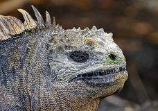 Marine iguana or the Galapagos marine iguana Amblyrhynchus cristatus is an iguana that lives only on the Galapagos Islands. Spends most of his time at sea. On stock photo