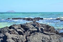 Marine iguana or the Galapagos marine iguana Amblyrhynchus cristatus is an iguana that lives only on the Galapagos Islands. Spends most of his time at sea. On royalty free stock photography