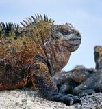 Marine iguana or the Galapagos marine iguana is an iguana that lives only on the Galapagos Islands. Marine iguana or the Galapagos marine iguana Amblyrhynchus royalty free stock photo