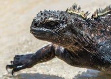 Marine Iguana Galapagos met gele aren royalty-vrije stock fotografie