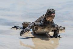 Marine Iguana Galapagos que anda verticalmente na praia com garras longas fotografia de stock royalty free
