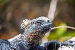 Marine Iguana in Galapagos Stock Image