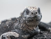 Marine Iguana Galapagos sitting on a rock with a smile. On its face stock photo