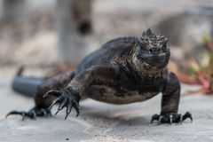 Marine Iguana Galapagos walking on a street. Showing large claws royalty free stock images