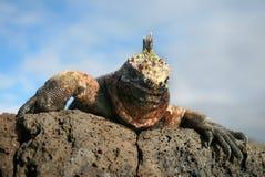 Marine Iguana Gaze Stock Photos