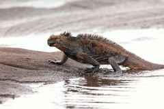 Marine iguana getting out of the water on Santiago Island, Galapagos National Park, Ecuador. Marine iguana is found only on the Galapagos Islands stock images